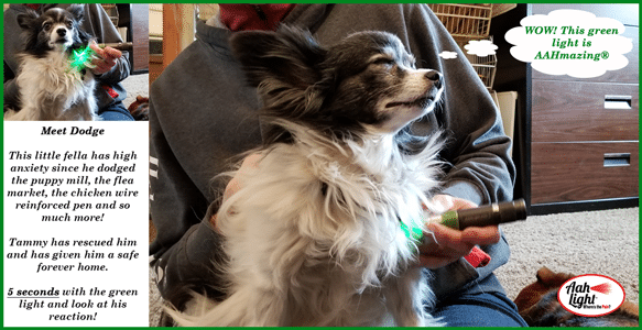 Dog receiving green light therapy